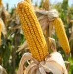 Продукты способствующие похудению. Кукуруза.